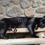 Siesta, bereits am Morgen. Verständlich, wenn man sonst nicht viel tun kann. Arme Zootiere.