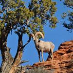 Ein Big Horn Sheep (Dickhornschaf) begrüsste uns kurz nach der Einfahrt in den Zion Nationalpark.
