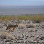 Der Kojote wartete vergebens auf ein Häppchen.