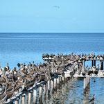 Hunderte von Pelikanen und anderen Vögeln besetzten diesen Steg.