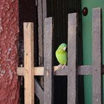 Dieser grüne Vogel pfiff uns zu, als wir an ihm vorbeigehen wollten.