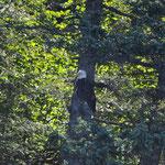 Auch der Weisskopfadler ernährt sich von Lachsen.