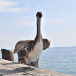 Überraschungsgast auf der Pier in Santa Barbara.