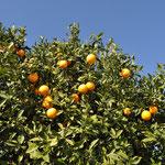 Die Orangen waren einfach suuuper! Und nein, wir haben sie nicht geklaut. Gäste dürfen sich offiziell bedienen.