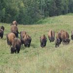 Hier eine ganze Herde dieser grossen Tiere.