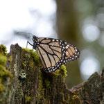 Nur wenige einzelne flogen träge zu Boden. Dort mussten sie lange warten, bis ihre Flügel trockneten...