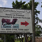 Simmental Fleckvieh in Guatemala