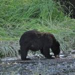Der Bär hat wohl genug, jetzt widmet er sich nur noch den Fischeiern.