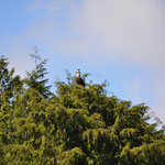 Weisskopfseeadler mit Jungtier