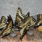 Die Schmetterlinge waren wohl durstig.