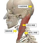 小後頭神経・大耳介神経・頚横神経・鎖骨上神経