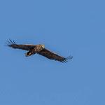 Seeadlerweibchen auf Futtersuche, Nikon 750mm, 03/2016