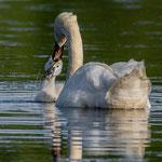 Fütterung eines Schwanenjungen, Teichwanderweg Waldreichs/NÖ