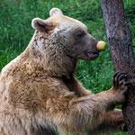 Syrischer Braunbär (Ursus arctos syriacus), Bärenwald bei Arbesbach/NÖ, Nikon 285mm, 09.06.2016