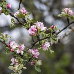 Wildapfelblüte am Teichwanderweg Waldreichs/NÖ, 7.5.2019