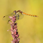 Libelle, Rastenfeld/NÖ