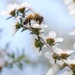 Abeille sur une fleur de Manuka