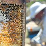L'apiculteur néo-zélandais et ses abeilles