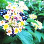 イスラエルのホテルの庭で咲いていた花。