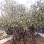 エルサレムの公園の木