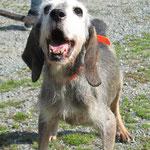 RUSTINE, pensionierter Jagdhund, mit 14 aus dem Tierheim adoptiert
