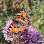 Blütenbesuchende Insekten im Garten