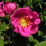 Rosa x francofurtana