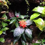 Aphelandra aurantiaca