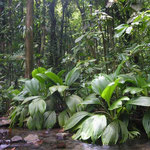 Regenwald auf der Antillen-Insel Guadeloupe