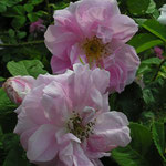 Rosa damascena `Rose de Quatre Saisons´