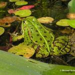Natur vor unserer Haustür: Teichfrosch im Gartenteich