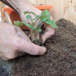 Wie vermehrt man Pflanzen?