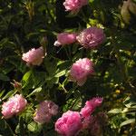 Rosa centifolia ´De Meaux´