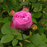Rosa bourboniana ´Coup de Hebe´