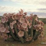 Faszinierende Überlebenskünstler: Hoodia in der Wüste Südafrikas