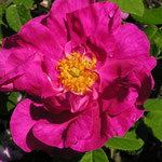 Rosa gallica `Officinalis´