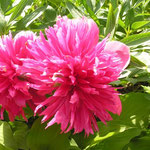 Paeonia officinalis ´Rosea plena´