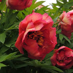 Paeonia ´Gaugin´