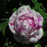 Rosa bourboniana ´Variegata di Bologna´