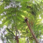 Damals im Karbon: Majestätische Baumfarne