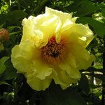 Paeonia `age of Gold´