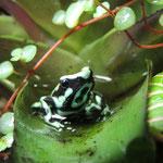 Baumkronenwelten: in den Gärten der Pfeilgiftfrösche