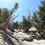 die ältesten Bäume der Welt: Grannen-Kiefern in Kalifornien