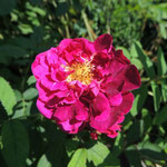 Rosa gallica `Tuscany´