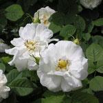 Rosa alba ´Suaveolens´