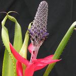 Aechmea triangularis