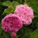 Rosa damascena ´Ville de Bruxelles´