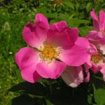 Rosa gallica ´Complicata´