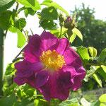 Rosa gallica ´Violacea´ (La Belle Sultane)