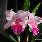 Faszinierende Orchideen: Cattleya